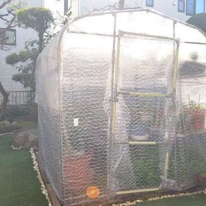 ☆★2/03日、温室の中の鉢物の手入れを行いました。今年は、暖冬ですね。冬越し上手く行っています。★☆
