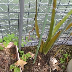 ☆★3/9日、気温も上がりいい天気、温室の中の里芋(一株だけですが)を掘ってみました。★☆