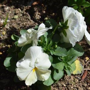 ☆★コロナに負けるな!!3/16日、午前中に庭に出て草花の手入れをしました。春の息吹に癒されます。★☆