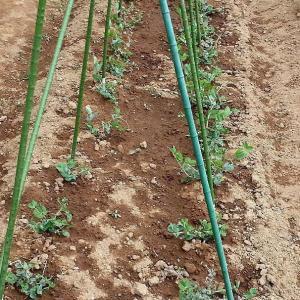 ☆★免疫力を高める。今は、それしか考えて・・・コロナ対策・・・困ったものですね。畑の野菜は順調★☆