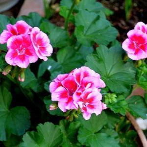 ☆★日中はここの所いい天気が続いています。少し暑いのですが、庭の植物の手入れをする時間が多くなってきました。★☆