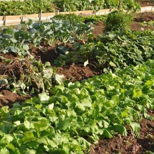 ☆★久しぶりに畑に行って見ました。家内の育てている野菜が、順調に・・・★☆
