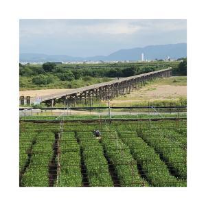 ♪ 流れ橋・・木津川 ʕ•ᴥ•ʔ