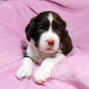 スプリンガーの仔犬が生まれました♪