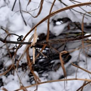 ヤマブドウの冬芽と葉痕