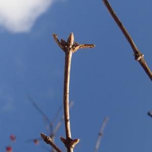 ハナヒョウタンボクの冬芽と葉痕
