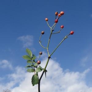 ノイバラの冬芽と葉痕