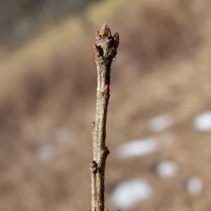 ナラガシワの冬芽と葉痕