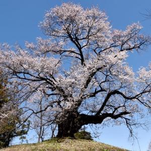 行人塚の芋植え桜 & 箕郷ふれあい公園のさくら