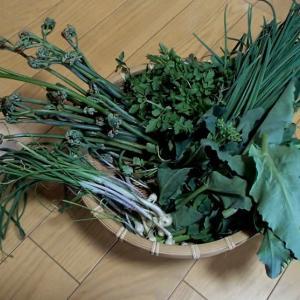 家庭菜園の山菜・野草を食す!
