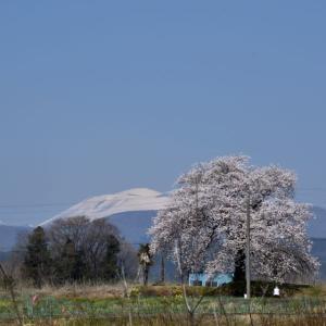 細野の一本桜 そして松井田城址・・・