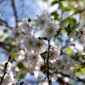 アーコレード(二季咲き性のサクラ)