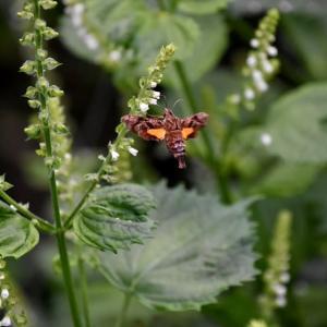 シソの花に集う虫:ホシヒメホウジャク