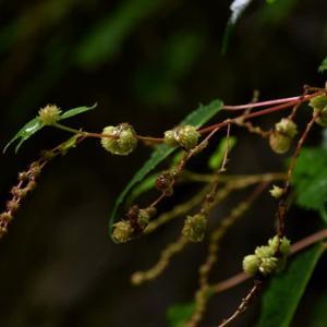 虫えい(虫こぶ):コアカソミトゲフシ・・・178種目