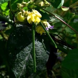 ヤブツルアズキ(藪蔓小豆)