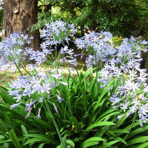 アガパンサスが咲きました&カオナシ、兵庫県赤穂市のお話