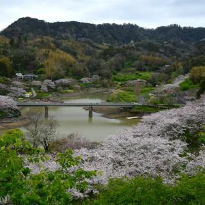 鋸南町・佐久間ダム湖の桜 2020年3月