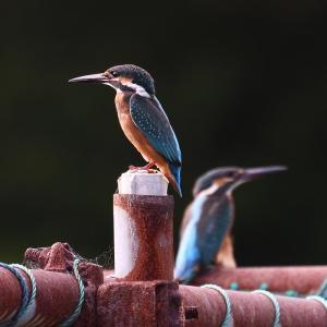 公園のカワセミ。幼鳥2匹(2021年9月24日)