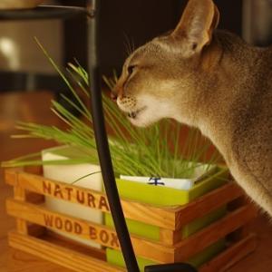 猫草伸びすぎ。