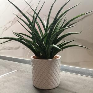 空気清浄効果のこの観葉植物で運気アップ!