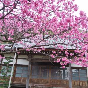 土肥桜の開花始まる