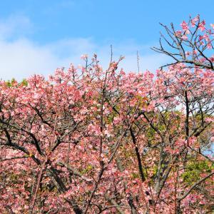 寒桜3~6分咲き,チューリップなど満開で見ごろ