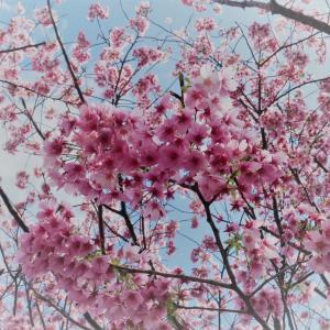 富戸港界隈の城ヶ崎桜が満開です
