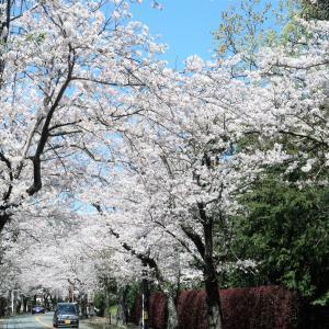 伊豆高原 桜並木のソメイヨシノが満開です♪