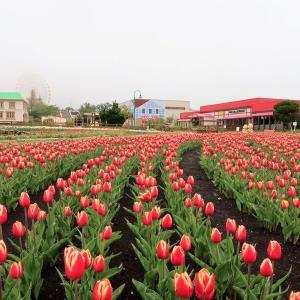 チューリップが美しく咲く@遊園地ぐりんぱ(静岡県)