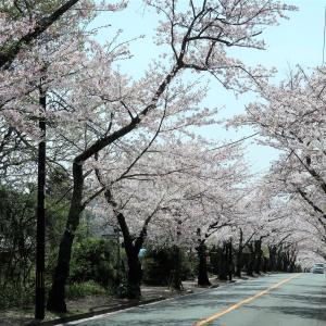 伊豆高原で桜のトンネルが満開