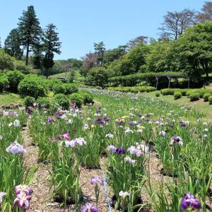 修善寺・虹の郷で花菖蒲が見ごろです