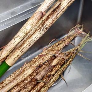 さて、真竹のシーズンですよ。