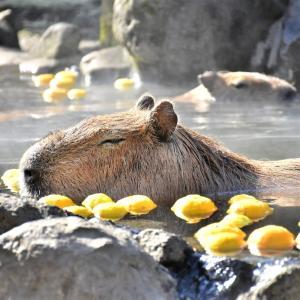第 7 回「カピバラの長風呂対決」開催