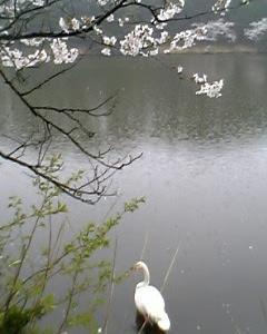 めぐみの雨と白鳥と