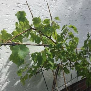 庭に葡萄、久しぶりのお客様