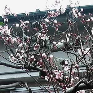 桜が咲き始めさした