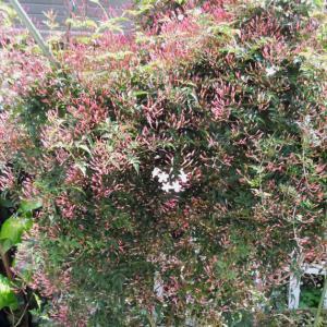 ジャスミンが咲き始めました
