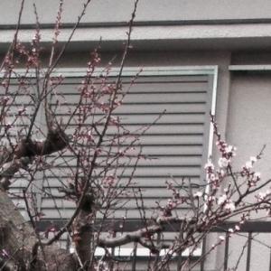 桜が咲いた、少し早いけども。