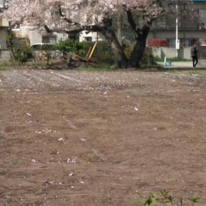 散りいゆく桜の花