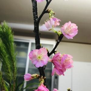 我が家の桜が満開