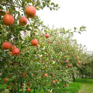スギヨファームでリンゴ狩り