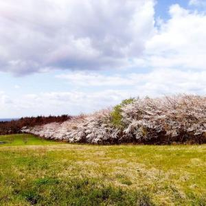 スギヨファームのさくら並木