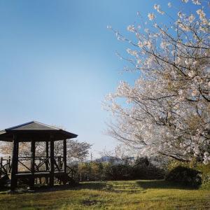 荒木ヶ丘展望台の桜