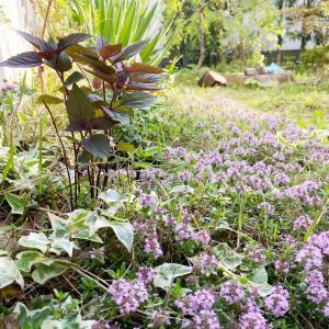 タイムとノバラと花壇つくり