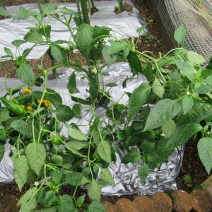 家庭菜園(大雨の影響)