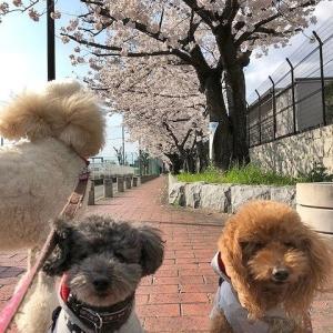 お花見散歩。