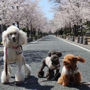 諏訪の桜トンネル。