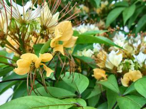 ギョボクの花