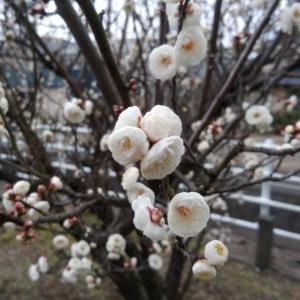 今年初の梅