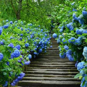 紫陽花2~明月院ブルー